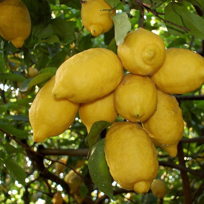 Limone di Sorrento ( Kg. 1)